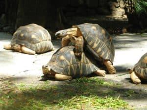 זוג צבים משתגל לאור יום בסאפרי
